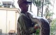 Nghệ An: Đang thu hoạch mía, người dân bất ngờ bắt được 2 con trăn gấm quý hiếm nặng hàng chục kg