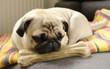 Muốn nuôi chó trong năm Mậu Tuất, nhưng nên chọn giống nào bạn đã biết chưa?