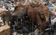 """Bức hình khiến nhiều người lo ngại: Đàn bò mò tìm thức ăn trong """"đế chế"""" rác khổng lồ ở Phú Quốc"""