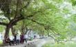 Đặt ga ngầm C9 bên hồ Hoàn Kiếm: Lên phương án di chuyển 9 cây sưa đỏ