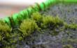Tác phẩm của mẹ thiên nhiên: Loài rêu có thể lọc hết arsen trong nước đã được tìm thấy
