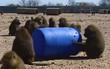 Bốn con khỉ dùng thùng phuy trốn trại nghiên cứu thành công, một trong ba con lên đến bờ tường thì nghĩ lại và quay về