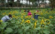 Chùm ảnh: Người dân Hà Nội kéo nhau đến vườn hoa hướng dương ở Hoàng thành Thăng Long chụp ảnh