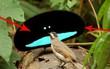 """Không hề photoshop: """"khối đen xì"""" kia chính là 1 loài chim sở hữu bộ lông bí ẩn nhất thế giới"""