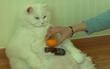 """Chú mèo ở Hàn Quốc nổi tiếng vì béo như cục bông và cứ nghe đến """"giảm cân"""" là chạy trốn"""
