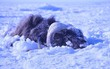 """Bão tuyết cực mạnh tràn qua, 52 con bò xạ hương vốn """"thống trị"""" vùng băng giá cũng bị chôn sống, đóng băng đầy đau đớn"""