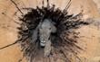 Điều gì khiến chú chó săn mắc kẹt trong thân cây 60 năm vẫn nguyên vẹn, không hề phân hủy 1 chút nào