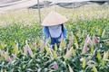 """Người trồng hoa ở Mê Linh chi hàng trăm triệu đưa hoa ly lên Sa Pa """"lánh nạn"""""""