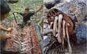"""Có 1 sinh vật """"khổng lồ"""" trốn trong thân gỗ khiến ai cũng phải khiếp sợ"""
