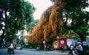 Ngả vàng cả một góc phố, đây là giàn hoa giấy ăn ảnh nhất Hà Nội những ngày này!