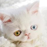 Chú mèo xinh đẹp sở hữu đôi mắt hai màu lấp lánh tựa pha lê