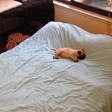 15 chú chó xấu tính chỉ thích độc chiếm một mình một giường mới chịu