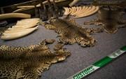 Trung Quốc cho phép sử dụng sừng tê, cao hổ cốt sau lệnh cấm 25 năm khiến các nhà bảo vệ môi trường lo ngại
