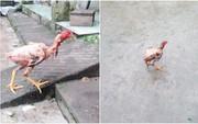 Chàng trai chụp ảnh con gà vẫn chạy tung tăng giữa sân dù đã bị vặt lông, nhúng nước sôi khiến cộng đồng mạng được phen hoảng hốt