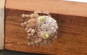 Lại là nước Úc kỳ quái: Người đàn ông hoảng hồn phát hiện con nhện trông như miếng sushi đang bò trong nhà