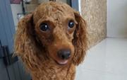 Gã đàn ông trộm chó tặng người yêu để thể hiện tình cảm