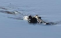 Thấy 2 con quái vật cá sấu tình nghi, cảnh sát mổ bụng chúng ra và thấy thi thể người bên trong