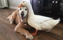 Nghe có vẻ sai sai nhưng chó và vịt vẫn có thể là bạn thân của nhau