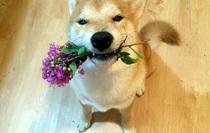 Nghĩ mình là người nên chú chó shiba đáng yêu chỉ thích cày phim và tô màu