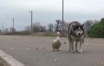Chó và vịt tưởng chừng như không thể thân nhưng đôi bạn này lại thân không tưởng
