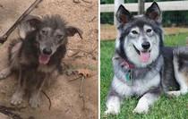 Sự lột xác bất ngờ của 16 chú chó trước và sau khi về với chủ mới