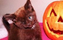 """Chú mèo cướp biển: Từ """"trẻ cơ nhỡ"""" trở thành hot boy phiên bản động vật"""