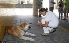 Chú chó trung thành ngồi đợi chủ suốt 1 tuần ngoài cổng bệnh viện