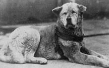 Bạn sẽ muốn nuôi ngay một chú chó sau khi đọc câu chuyện đã đi vào huyền thoại này