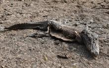 """Hạn hán kinh hoàng, cá sấu """"héo quắt"""" trong đầm cạn nước"""