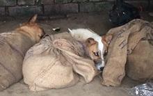 Hình ảnh gây sốc về tình trạng buôn bán bất hợp pháp và giết hại chó dã man