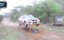 Lạc vào đường đua, chú chó thoát chết thần kỳ dưới gầm ô tô