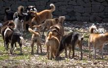 Người đàn ông bất lực nhìn mẹ già bị hơn 100 con chó hoang cắn xé tới chết ngay trước mắt
