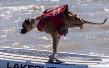 Nghị lực và niềm vui sống của chú chó 2 chân khiến hàng triệu người cảm phục