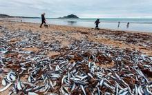 Anh: Bí ẩn hàng trăm nghìn xác cá thu trôi dạt vào bờ biển lần thứ hai trong tháng
