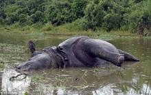 Từ chối giao phối, tê giác cái bị 2 con đực húc chết