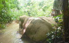 Chú voi rừng chết thảm với một phần cơ thể bị lột da hoàn toàn