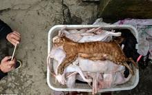 Giả danh người yêu động vật để nhận nuôi mèo, nhưng khi kiểm tra, cảnh sát tìm thấy 2 tấn thịt mèo trong kho của người này