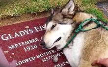 Vì sao có những chú chó chờ đợi hàng năm trời bên mộ của chủ nhân?