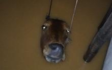 Tác giả bức ảnh con bò chìm trong nước lũ lên tiếng