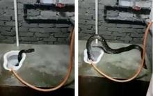 Kinh hãi phát hiện trăn 4m chui lên từ bồn cầu trong nhà vệ sinh