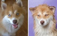 Các em chó cũng giống phụ nữ: xấu thảm hại sau khi tắm táp trôi hết make-up