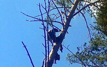 Người đàn ông chết đứng trong khi leo cây nhưng không ai biết cho tới 8 tháng sau
