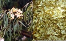 Sự thật: có một loài cây mọc ra vàng và nó có ở Việt Nam
