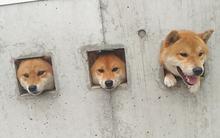 Ba anh em Shiba Inu và thú vui thò đầu qua ô cửa ngắm phố phường