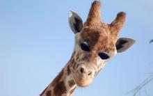 Sẽ hơi đáng sợ nếu tất cả động vật mọc mắt phía trước như con người
