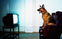 Chó nhà bạn thấy những gì khi ngồi xem TV?