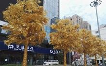 Cây trổ lá vàng ròng mà nhiều người ao ước hóa ra là có thật, ở Trung Quốc đấy