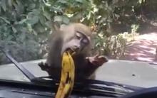 Clip cười không nhặt được mồm cả đàn khỉ ăn không nổi một quả chuối