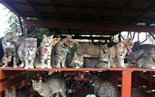 Sau ngày dài mệt mỏi, ghé thăm hòn đảo mèo qua màn ảnh nhỏ cũng đủ thấy thư thái