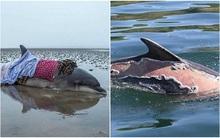 Hình ảnh chú cá heo bị cháy nắng đến mức lột da khiến nhiều người không khỏi xót xa